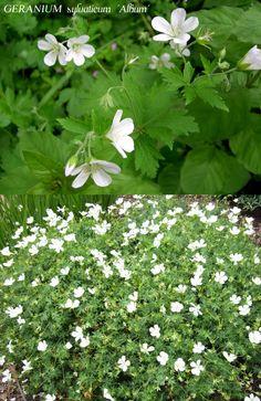 GERANIUM sylvaticum 'Album' (Géranium des bois) :  feuillage abondant d'un beau vert clair. Fleurs blanc pur dés Avril. Si vous coupez les branches fanées, 1 seconde floraison prendra le relais, puis 1 troisième à l'automne (sauf dans les régions chaudes). Ultra rustique, elle accepte la concurrence des racines d'arbre et arbuste. Culture : terre ordinaire. Soleil, ombre légère.