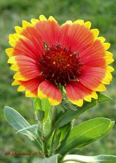 """A gaillardia or blanket flower. THis perennial blooms in full sun all summer. It is a good spreader if you give it sufficient space and it likes water. These flowers can range form about 15"""" to 6"""" and are a perky cheerful addition to a garden."""