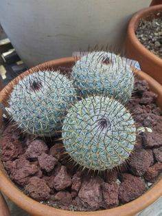 Mammillaria bombycina...