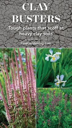 Busters: Plants that thrive in clay soils., Clay Busters: Plants that thrive in clay soils., Clay Busters: Plants that thrive in clay soils. Clay Soil Plants, Planting In Clay, Planting Flowers, Flower Gardening, Flowers Garden, Outdoor Plants, Garden Plants, Outdoor Gardens, Veg Garden