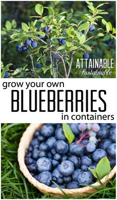 Growing blueberries is a great way to produce some of your own fruit. They're great in containers and urban gardens.