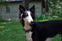 Silken Windhound. Cute...for a dog with a mullet...........