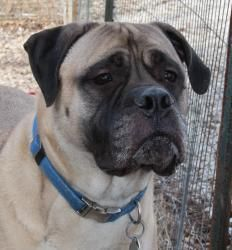 Bogey is an adoptable Bullmastiff Dog in O Fallon, IL. Meet Bogey, a 5 year old Bullmastif. He is stunning. Adopted from us back in 2008, he was recently returned when his owners lost their home. As o...