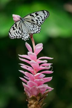 Black and White Butterfly with Pink Flower