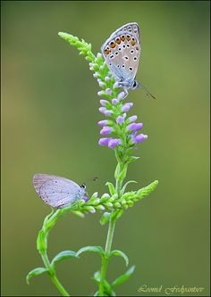 The Gossamer-wings (The Blues) resting on Veronica Butterfly Kisses, Butterfly Flowers, Beautiful Butterflies, Cool Insects, Cool Bugs, Cosmos Flowers, Drawing Course, Butterfly Pictures, Stuffed Animal Patterns