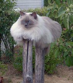 fat cat — Catmoji