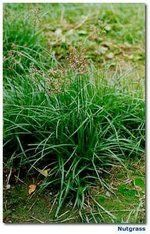 Nutsedge ( Nutgrass) - Bob Webster's Gardening tip for safely getting rid of it w/o endless pulling or chemicals!!