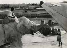 During World War I, Lizzie the elephant assisted American troops in many ways. Here she is loading supplies onto a plane in India. She also learned to play soccer with the troops!