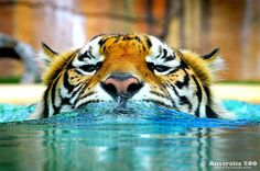 A great shot of one of our adult Sumatran Tigers taking a swim in their world class Tiger Temple exhibit #tiger