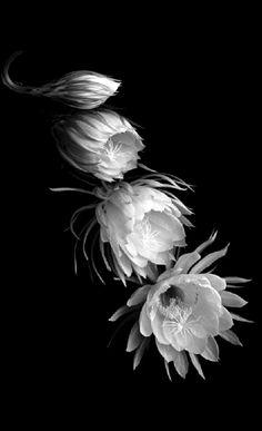 SOOS Orchid Show: Stative erlaubt Fotografie - Blumen u. Orchid Cactus, Cactus Flower, Flower Art, Anemone Flower, Night Blooming Flowers, Night Flowers, Blooming Orchid, Exotic Flowers, Beautiful Flowers