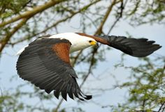 Types of Eagles in The World - Eagles are admired the world over as living symbols of power, freedom, and transcendence. There are more than 60 different species of Eagles. #TypesofEagles #AfricanFishEagle