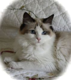 Ragdoll cat rescue in utah