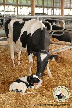 Welcome! -  Whether it's the middle of the night, or the middle of dinner, a dairy farmer will drop everything to help deliver a baby calf. Making sure mom and calf are safe, comfortable and healthy is one of the most important jobs on a dairy farm!