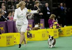 The Daily Corgi: Cardigan Welsh Corgi Coco Posh Takes Best of Breed / Best of Herding Group at Westminster 2014!