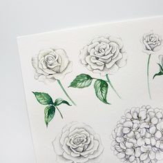 White watercolor roses and hydrangea #roses #white roses #hydrangea #watercolor flowers
