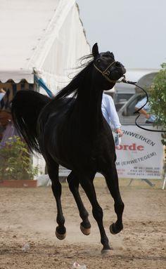 Arabian Horse stock VI by lovergil.deviantart.com on @deviantART