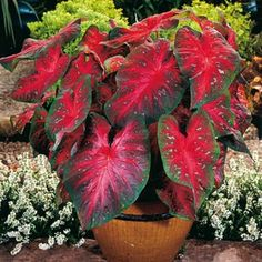Vivid 'Caladium Red Flash' brings bold color to shady beds and patio pots. americanmeadows.com