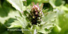 Heuchera variety shade flower perennial plant - Coral Bells