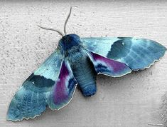 Cool Insects, Bugs And Insects, Beautiful Creatures, Animals Beautiful, Cute Animals, Beautiful Bugs, Beautiful Butterflies, Cute Moth, Colorful Moths