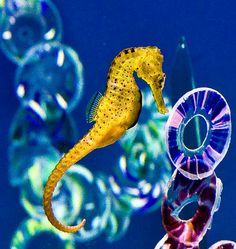 Seahorses are just amazing..!! One of Nature's exclamation points....