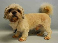 GIZMO - #A1069247 - Super Urgent Manhattan - MALE WHITE/TAN LHASA APSO MIX, 8 Yrs - OWNER SUR - EVALUATE, NO HOLD Reason OWN EVICT - Intake 04/03/16 Due Out 04/03/16