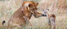 Tiere adoptieren Tiere - gibt's das wirklich? - News Ausland - Bild.de