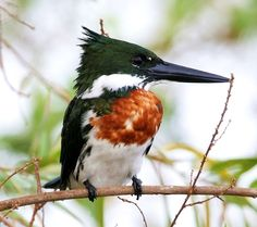 The Amazon Kingfisher (Chloroceryle amazona) is a resident breeding bird in the lowlands of the American tropics from southern Mexico south through Central America to northern Argentina, with at least one bird having strayed north to Texas.
