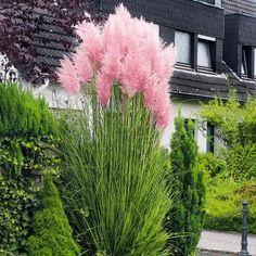 Rosa Pampasgras - Mit seinen rosafarbenen Blütenbüscheln ist dieses Pampasgras eines der schönsten Ziergräser überhaupt. Nicht nur ein eindrucksvoller Blickfang in Gärten, auf der Terrasse oder dem Ba