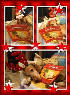 Balou begins reading the Christmas story, since he appears in it along with Smokey and Portia! But most of all he loves reading it with the three children who look after him!