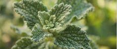 Esta planta cura de forma quase imediata fígado e vesícula e desinflama magicamente o intestino! - http://comosefaz.eu/esta-planta-cura-de-forma-quase-imediata-figado-e-vesicula-e-desinflama-magicamente-o-intestino/