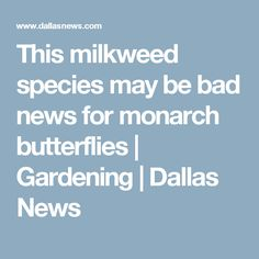 This milkweed species may be bad news for monarch butterflies | Gardening | Dallas News