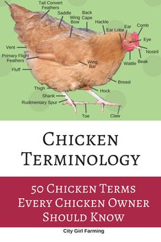 Learn 50 common terms used with chickens so you can sound like you know what you're talking about (and you will!) Chickens in the backyard Chicken Garden, Chicken Life, Backyard Chicken Coops, Chicken Coop Plans, Building A Chicken Coop, Chicken Runs, Diy Chicken Coop, Chicken Houses, City Chicken