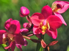 Red Orchid Wallpaper