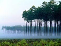 bosque del pino, Landes, Francia