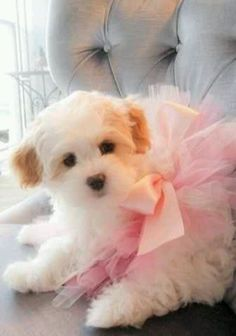 This will be your dog, David. :-) Tutu and all. I can't wait!