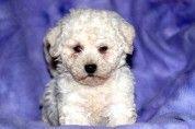 Louie – Bichon Frise Puppy www.keystonepuppies.com  #keystonepuppies #bichonfrise
