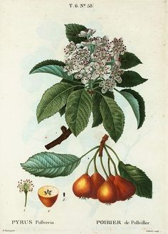 Pierre Redoute Pyrus Pollveria Pears 1801-19