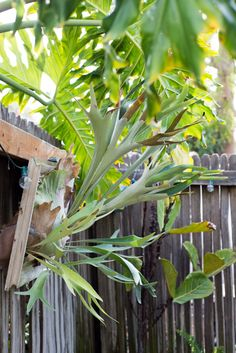 How To: Turn Your House Into a Staghorn Fern Party Mounting staghorn ferns (Platycerium) Container Gardening Vegetables, Succulents In Containers, Container Flowers, Container Plants, Vegetable Gardening, Shade Plants, Air Plants, Potted Plants, Staghorn Plant