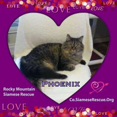 We have happy news to share! After waiting for over 5 years, Phoenix (CO0564) was adopted in August and went home with her new Meowmy, Ruth. Phoenix came to Rocky Mountain Siamese Rescue in 2009 with 9 other cats from a large Arizona BYB/hoarding case where she lived outside with many other cats locked in chain link runs in beyond horrific conditions. To know that she is cherished and now has her very own person and home to call her own is the best gift any rescuer could ask for! ❤️