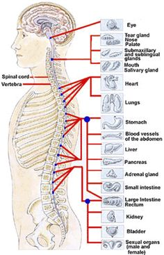 spinal-cord - how back pain can effect other organs in your body. Re: low back pain and poor digestion #ciatica