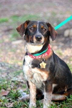 Adoptable Dog: Kaluha - Terrier Mix (Columbia, MD) #pets #animals #adoption…