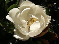 Magnolia 39 sunsation 39 - Magnolia grandiflora cuidados ...