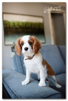 Cavalier King Charles. I want one sooo bad!! Someday, Joe will give in...how can you resist this face?!