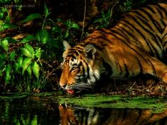 CoSurvivor | Travel and Photography | WildLife - Animals and Birds - The Royal Bengal Tiger