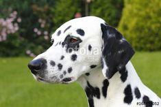 Edler Hund, Dalmatiner im Park - Buy this stock photo and explore similar images at Adobe Stock Park, Stock Photos, Dogs, Animals, Image, Dalmatian, Pet Dogs, Animales, Animaux