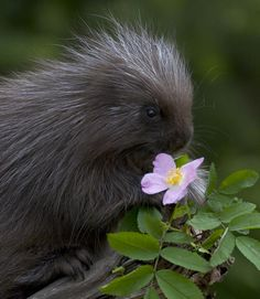 Porcupine and flower by Jack Nevitt