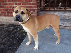 TO BE DESTROYED - SATURDAY - 4/19/14 URGENT - Brooklyn Center    BENNY - A0995983    MALE, TAN / WHITE, MASTIFF / PIT BULL, 3 yrs  STRAY - EVALUATE, NO HOLD Reason STRAY  Intake condition NONE Intake Date 04/07/2014, From NY 11208, DueOut Date 04/10/2014  https://www.facebook.com/photo.php?fbid=784511624895052&set=a.783289301683951.1073743096.152876678058553&type=3&theater