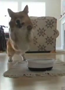 Adorable dancing Corgi is always excited to eat (VIDEO) » DogHeirs | Where Dogs Are Family « Keywords: Pembroke Welsh Corgi