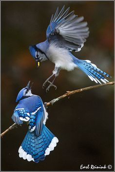 "* * BLUE JAY IN AIR:""Whatchoo doin' in ME territory? Sneakster. Yoo go looks fer dames in yer owns necka de woods."""