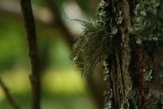 Usnea filipendula (Old Man's Beard)